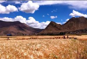 西藏規劃超1200億元發展河谷經濟與青稞牦牛產業